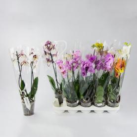 Фаленопсис (орхидея) 12*50 1-2 ствола микс (Ter Laak Orchids)