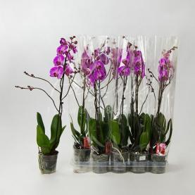 Фаленопсис (орхідея) 12*60 2 стовбура Purple Rain (Kw J.P. Konst & Zn B)