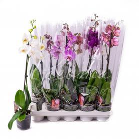 Фаленопсис (орхідея) 12*70 1 стовбур мікс (Kw J.P. Konst & Zn BV)