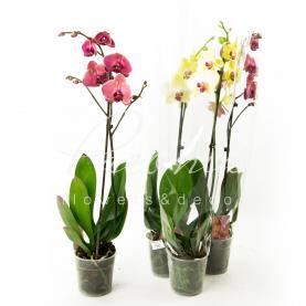 Фаленопсис (орхідея) 12*65 1 стовбур мікс (Kw J.P. Konst & Zn BV)