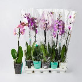 Фаленопсис (орхидея) 12*65 1 ствол микс (Decorum)