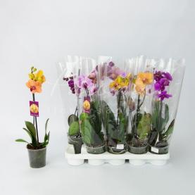 Фаленопсис (орхідея) 12*65 1 стовбур мікс (Levoplant BV)