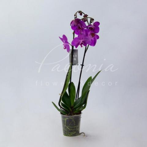 Фаленопсис (орхидея) 12*65 2 ствола пурпурный Special Big Lip (Levoplant BV)