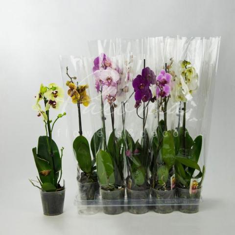 Фаленопсис (орхидея) 12*65-70 1 ствол бюджетный микс (Bernhard)