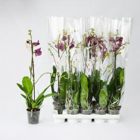 Фаленопсис (орхідея) 12*70 1 стовбур Wildcat (Piko)