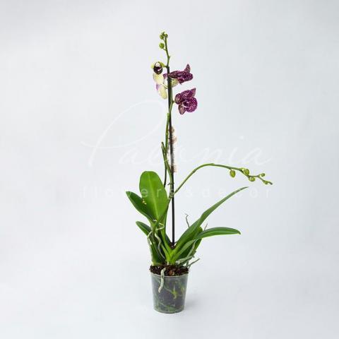 Фаленопсис (орхидея) 12*70 1 ствол Wildcat (Piko)