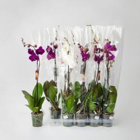 Фаленопсис (орхідея) 12*75 1 стовбур мікс (Levoplant BV)