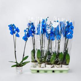 Фаленопсис (орхідея) 12*75 1 стовбур синій фарбований (Joflor)