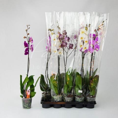 Фаленопсис (орхидея) 12*80 1 ствол микс (Piet Vijverberg)