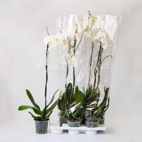 Фаленопсис (орхідея) гранді 15*85 1 стовбур мікс (Florious Orchids)