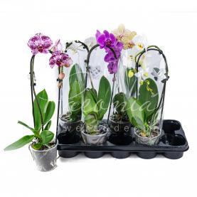 Фаленопсис (орхідея) каскад 12*50 2 стовбура мікс (Hoog Bos)