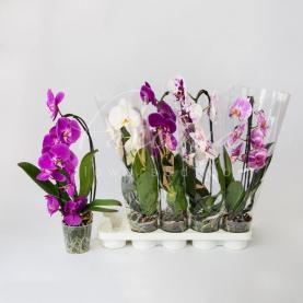 Фаленопсис (орхідея) каскад 12*50 мікс (2 кольора) (Green Balanz)