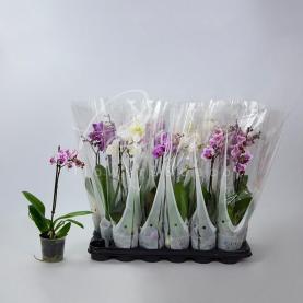 Фаленопсис (орхідея) міді 9*25 1 стовбур мікс (De Vreede Holland)