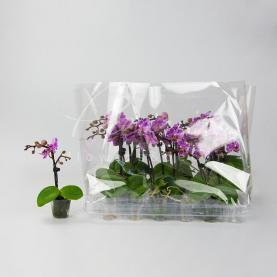 Фаленопсис (орхидея) мини 5*25 1 ствол микс (D Plants)