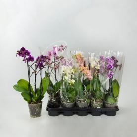 Фаленопсис (орхідея) мультифлора 12*40 1 стовбур мікс (Pannekoek Orchideeen)